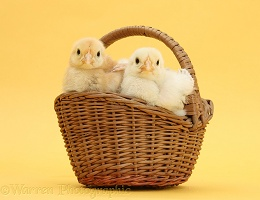 Yellow Bantam chicks in a wicker basket