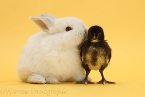 White baby rabbit and bantam chick on yellow background