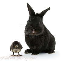 Black rabbit and black Bantam chick
