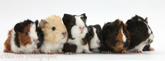 Six young Guinea pigs in a row