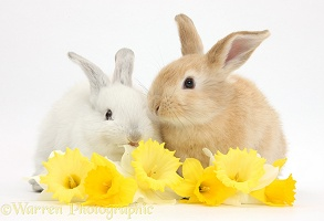 Young rabbits with daffodils