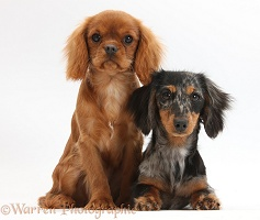King Charles pup and Dachshund