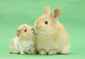 Young bunny with baby Guinea pig