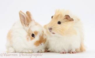 Guinea pig and baby rabbit