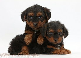 Yorkipoo pups, 6 weeks old