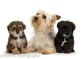 Yorkie mother with Yorkipoo pups
