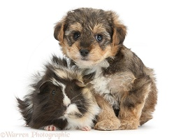 Yorkipoo pup, 6 weeks old, with Guinea pig