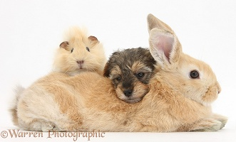 Yorkipoo pup, 6 weeks old, with rabbit and Guinea pig