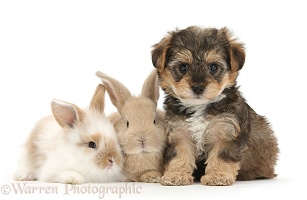 Yorkipoo pup, 6 weeks old, with baby rabbits