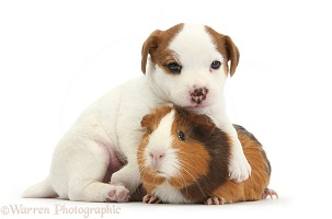 Jack Russell Terrier puppy and Guinea pig