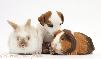 Jack Russell Terrier puppy, Guinea pig and rabbit