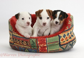 Three Jack Russell Terrier puppies, 4 weeks old