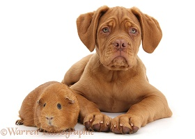 Dogue de Bordeaux pup and Guinea pig