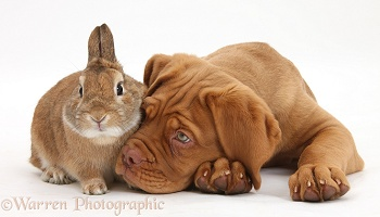Dogue de Bordeaux pup and rabbit
