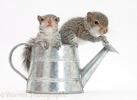 Young Grey Squirrels in a little metal watering can