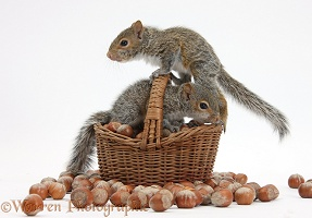 Young Grey Squirrels with wicker basket of hazel nuts