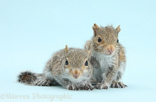 Young Grey Squirrels on blue background