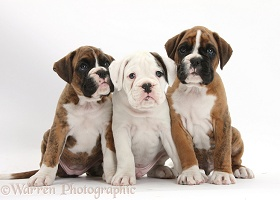 Three Boxer puppies sitting