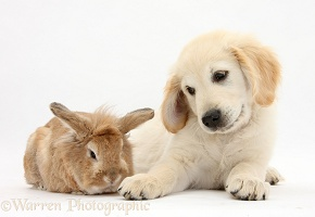 Rabbit and Golden Retriever pup