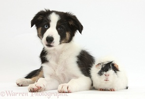 Odd-eyed Tricolour Border Collie pup and Guinea pig