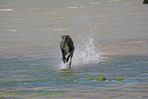 Deerhound lurcher running