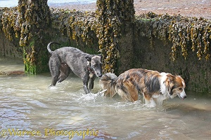 Border collie and deerhound lurcher at the seaside