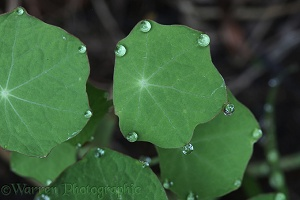 Nasturtium leaves showing guttation