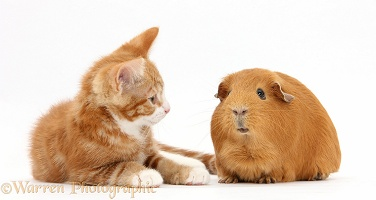 Ginger kitten and Guinea pig