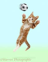 Ginger kitten leaping as if to save a goal