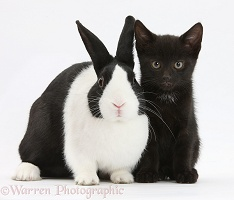 Black kitten with Dutch rabbit