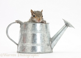 Young Grey Squirrel in a little metal watering can