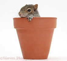 Young Grey Squirrel in a flowerpot