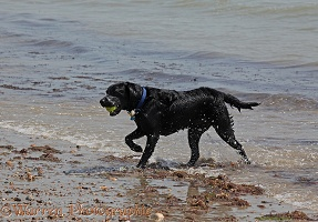 Labrador retriever on beach