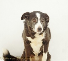 Elderly Border Collie