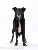 Elderly lurcher