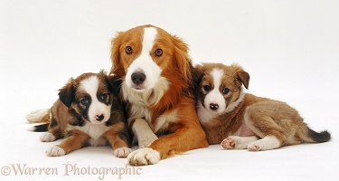 Border Collie and pups