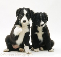 Black-and-white Border Collie pups, 6 weeks old