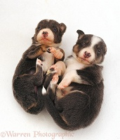 Sleepy Border Collie pups lying on their back