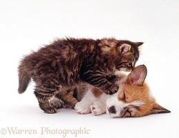 Tabby kitten and Pembrokeshire Welsh Corgi pup