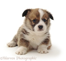 Pembrokeshire Welsh Corgi puppy, 4 weeks old