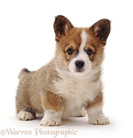 Pembrokeshire Welsh Corgi puppy, 8 weeks old