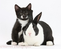 Black-and-white kitten with Dutch rabbit
