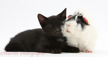Sleepy black kitten and Guinea pig