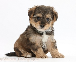 Yorkipoo pup, 6 weeks old
