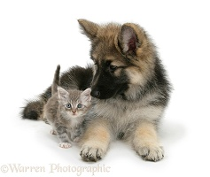 Alsatian pup with tabby kitten
