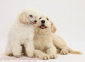 Poodle and Goldendoodle