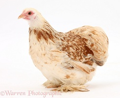 Bantam chicken hen