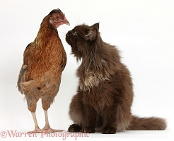 Chicken and chocolate cat