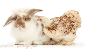 Bantam chicken and rabbit