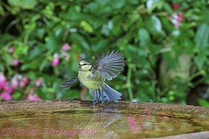 Blue Tit taking off from birdbath